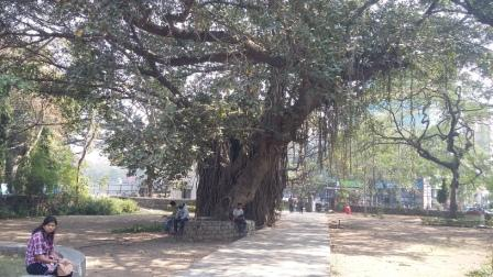 Banyan_tree_compressed