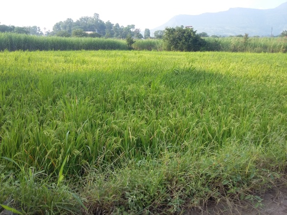 Paddy fields on the way.jpg