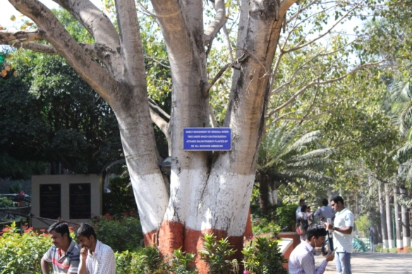 Bodhi Tree descendant plant.JPG